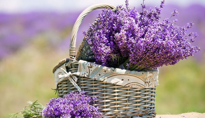 Hoa oải hương (lavender)